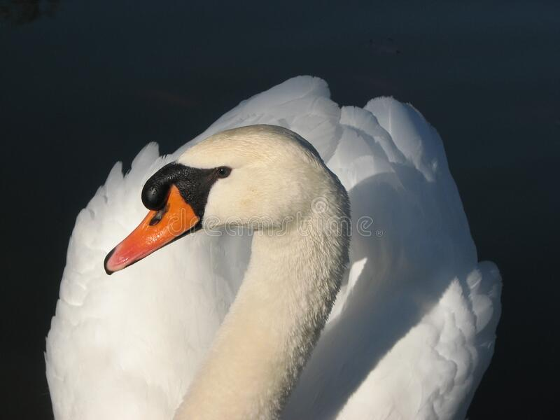 Vit swan fotografering för bildbyråer