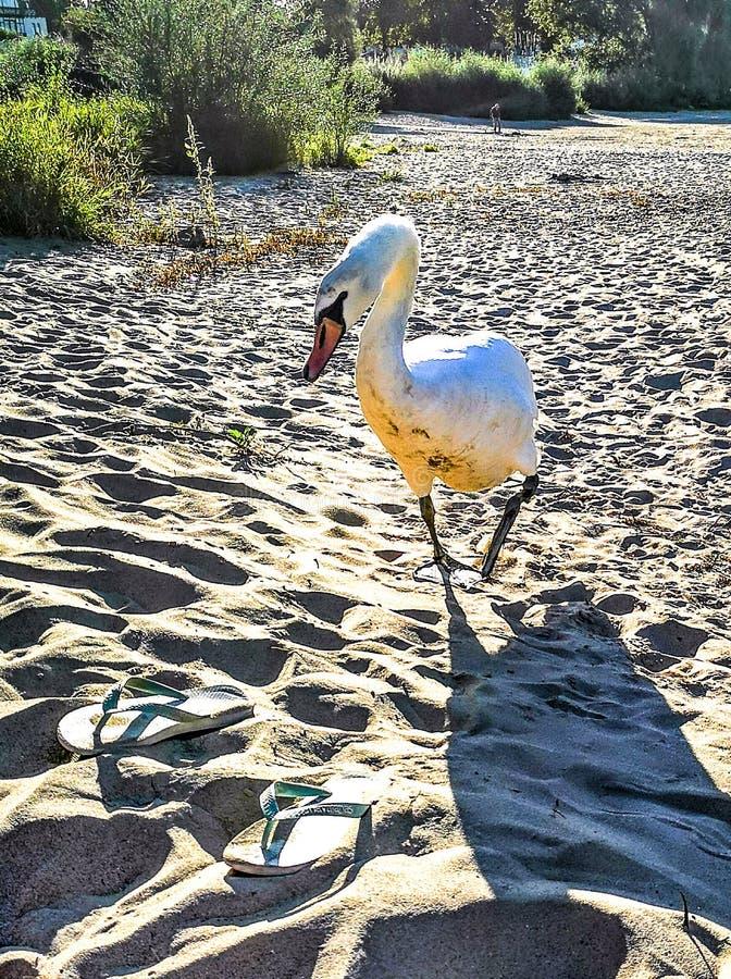 Vit Swan som springer på stranden i sand och flip flops skor arkivbild