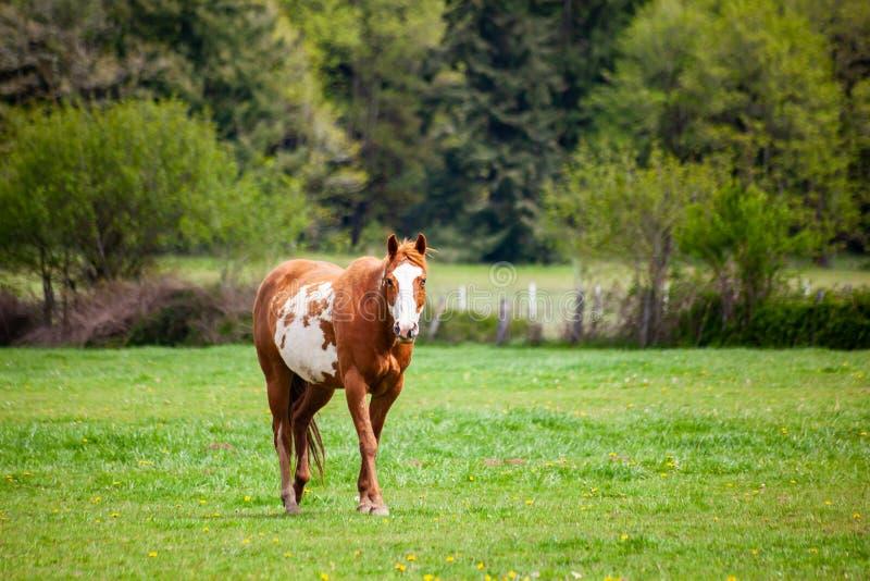 Vit syrapintohäst för en brunt och med skalliga framsida- och heterochromiairidiumögon som går i, betar arkivfoton
