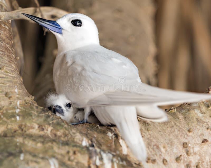 Vit tärna med fågelungen royaltyfri fotografi