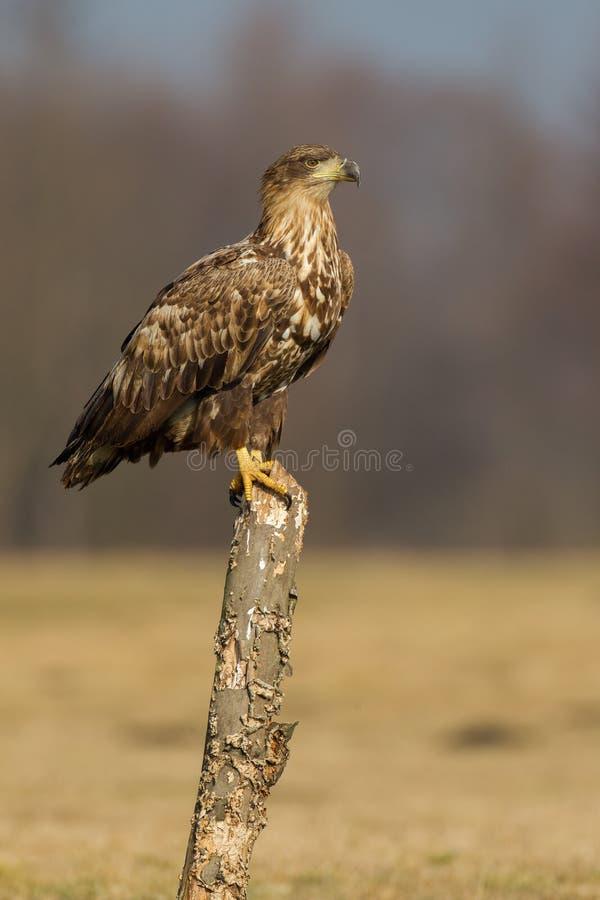 Vit Tailed örn royaltyfria bilder