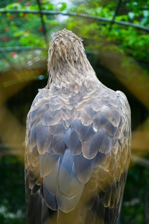 Vit tailed örn bakifrån royaltyfri bild