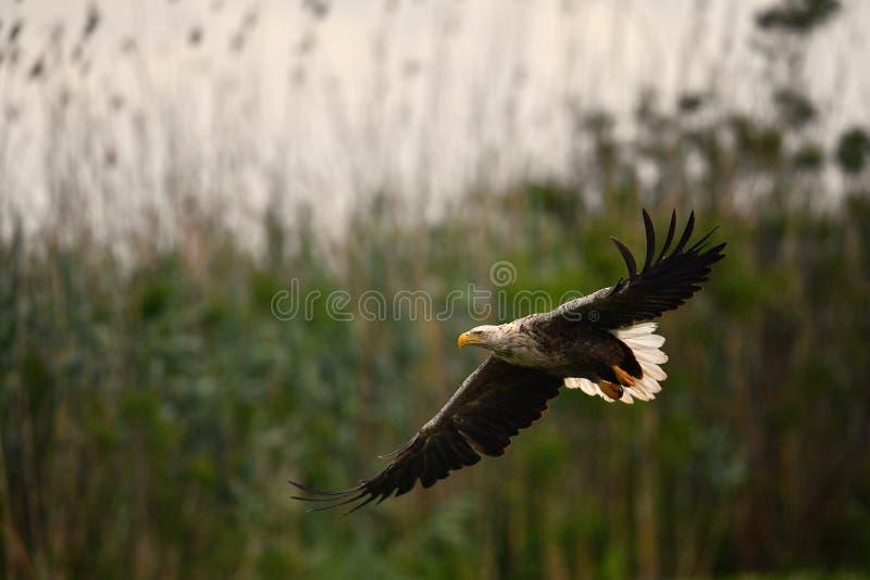 Vit tailed örn i Donaudelta royaltyfria bilder