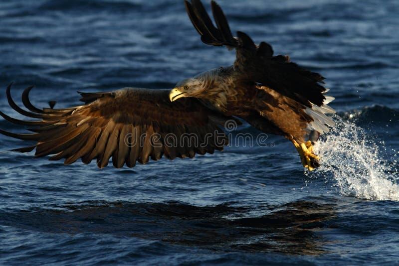Vit-tailed örn i flykten, örn med en fisk, som har precis plockats från vattnet, Norge royaltyfria foton