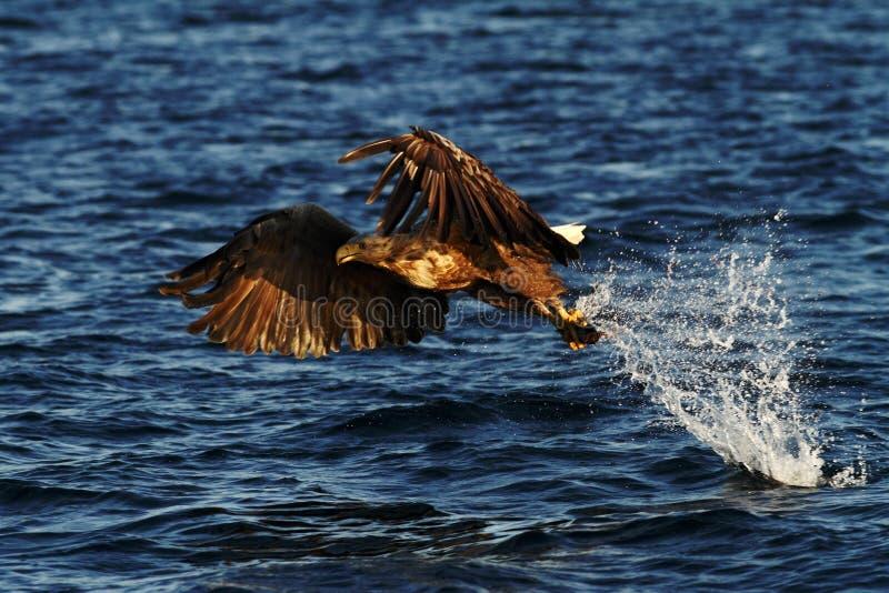 Vit-tailed örn i flykten, örn med en fisk, som har precis plockats från vattnet, Norge arkivfoton