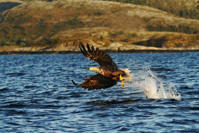 Vit-tailed örn i flykten, örn med en fisk, som har precis plockats från vattnet, Norge arkivbilder