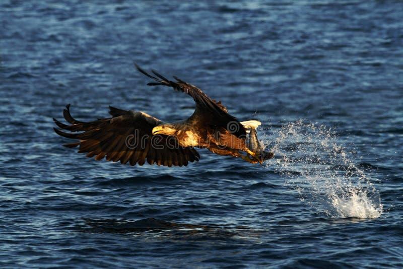 Vit-tailed örn i flykten, örn med en fisk, som har precis plockats från vattnet, Norge royaltyfri fotografi