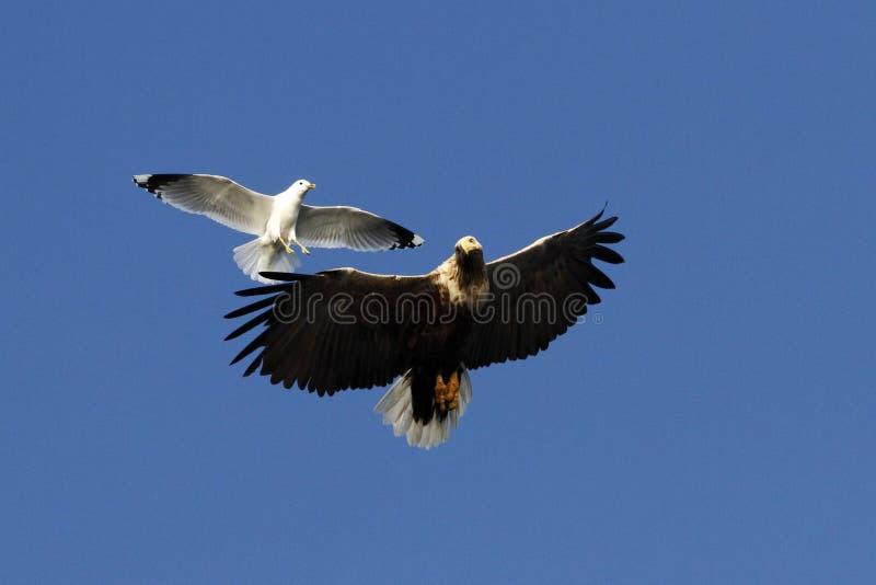 Vit-tailed örn i flykten som jagas av seagullen, Norge, Haliaeetusalbicilla, majestätisk havsörn med stora jordluckrare royaltyfri foto