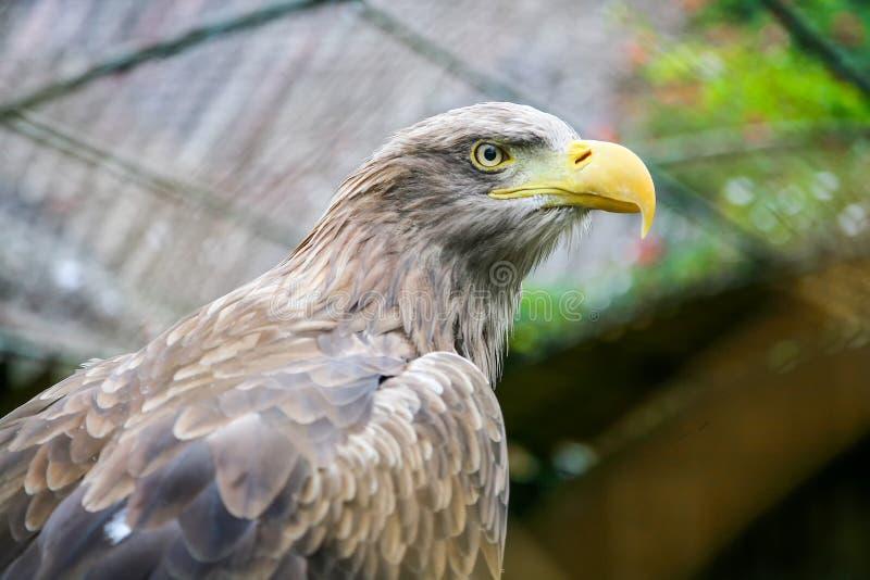 Vit tailed örn i zoo royaltyfri fotografi