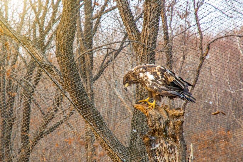 Vit-tailed örn och att sitta på en filial och blickar som är raka in i kameran arkivfoton