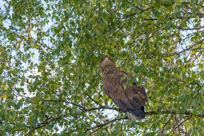 Vit-tailed örn på ett träd royaltyfria foton