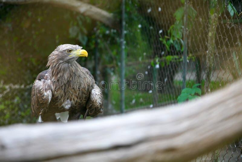 Vit tailed örn på filial i zoo royaltyfri fotografi