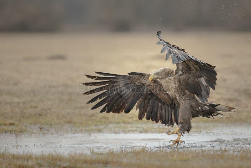 Vit-tailed örn som landar nära vatten fotografering för bildbyråer