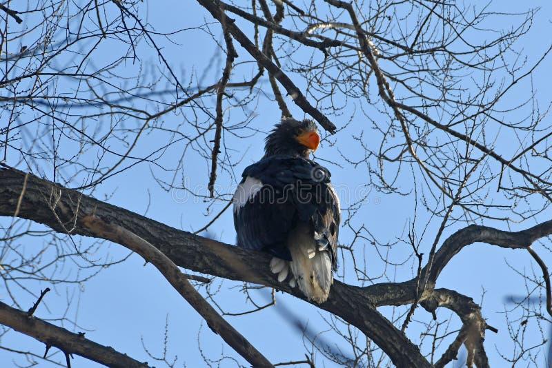 Vit-tailed Eagle/hav Eagle/Seeadler Haliaeetusalbicilla som sitter på en trädfilial i Vladivostok, Ryssland royaltyfri bild
