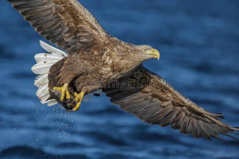 Vit-tailed Eagle med låset arkivbild