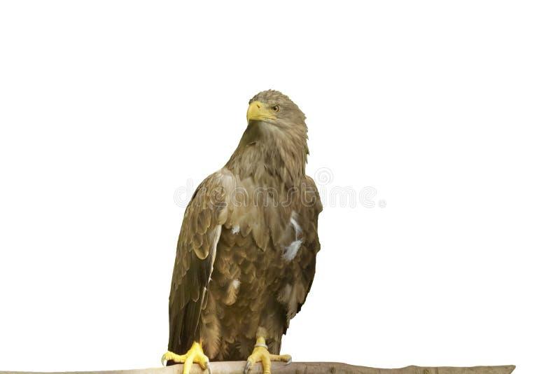 Vit-tailed Hav-Eagle, Haliaeetusalbicilla, en mycket stor örn isolerat fotografering för bildbyråer