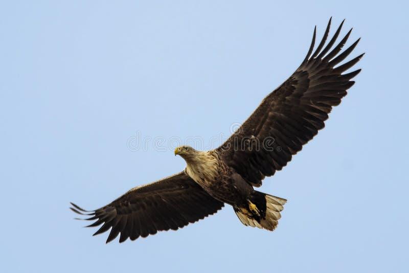 Vit-tailed hav Eagle i flykten. royaltyfri bild