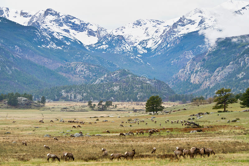 Vit-tailed hjortar i Rocky Mountains arkivfoton