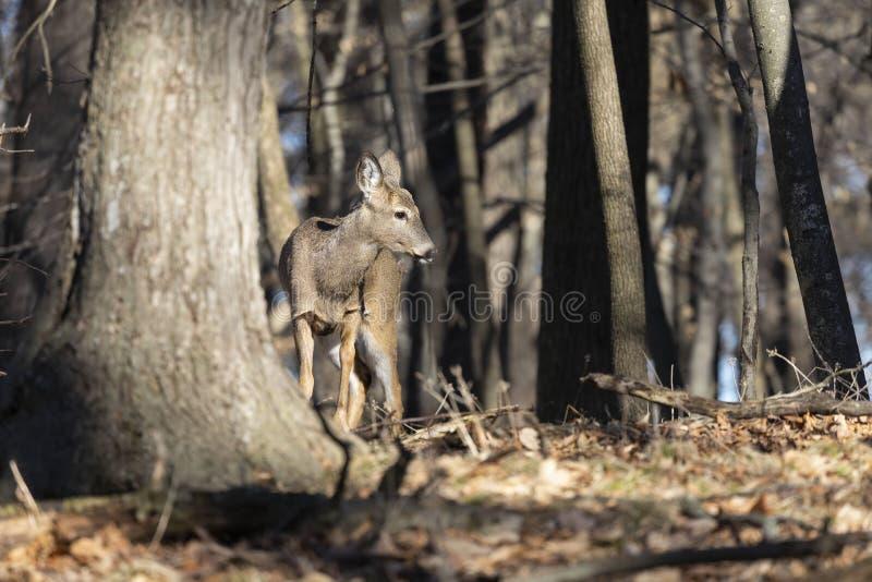 Vit-tailed hjortar, naturlig plats, f?rslag i vinterskogen royaltyfri fotografi
