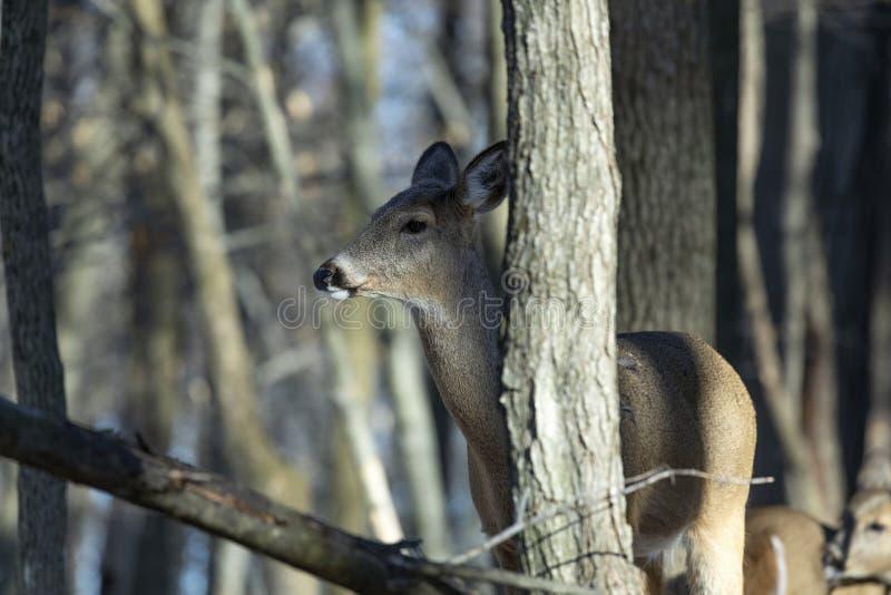 Vit-tailed hjortar, naturlig plats, f?rslag i vinterskogen arkivbilder