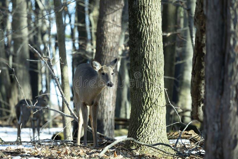 Vit-tailed hjortar, naturlig plats, f?rslag i vinterskogen arkivfoton