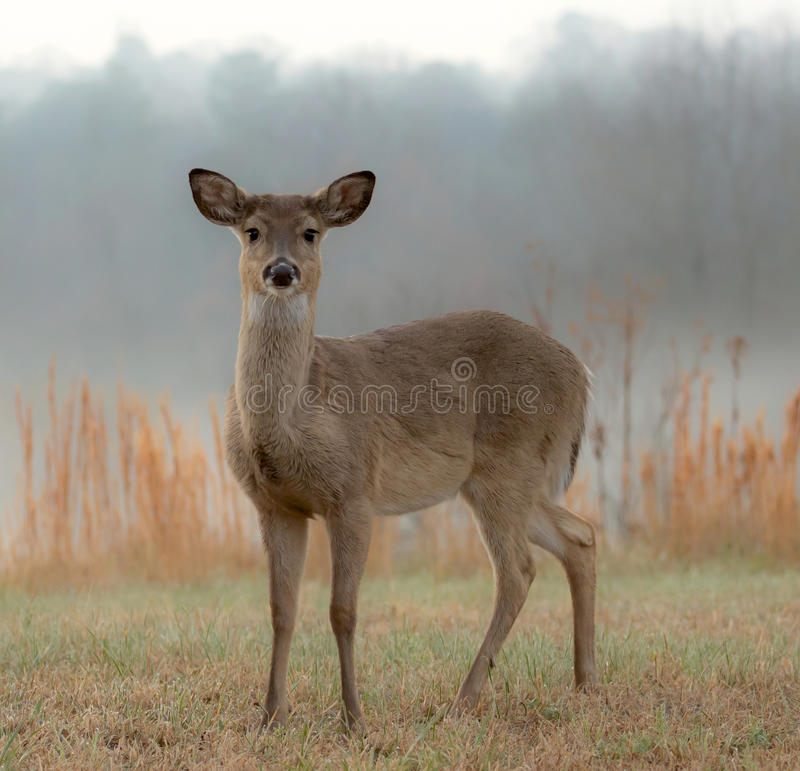 Vit-Tailed hjortar på en dimmig morgon royaltyfria bilder