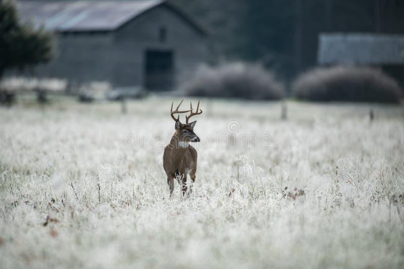 Vit-tailed hjortbock i dolt fält för frost arkivbilder