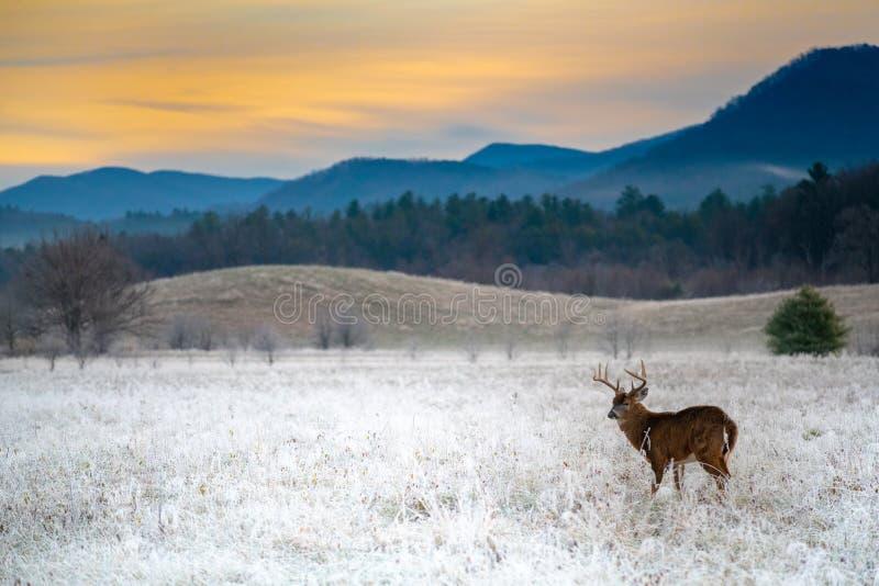Vit-tailed hjortbock i frostigt fält fotografering för bildbyråer