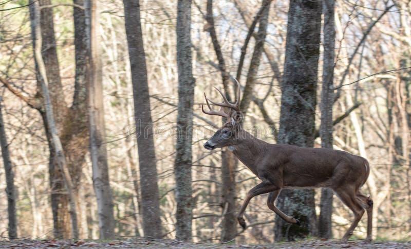 Vit-tailed hjortbock som kör till och med träna arkivfoton