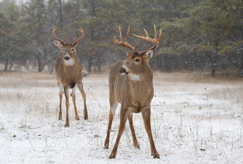 Vit-tailed hjortbockar royaltyfria foton