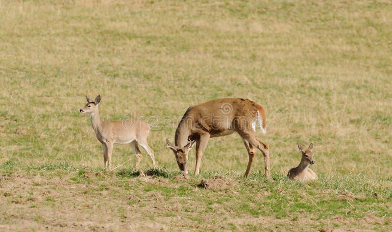 Vit-tailed hjortgrupp royaltyfria bilder