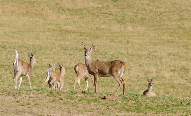 Vit-tailed hjortgrupp royaltyfri bild