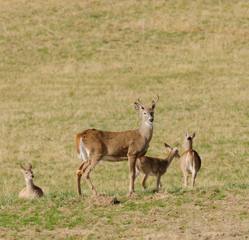 Vit-tailed hjortgrupp arkivfoto