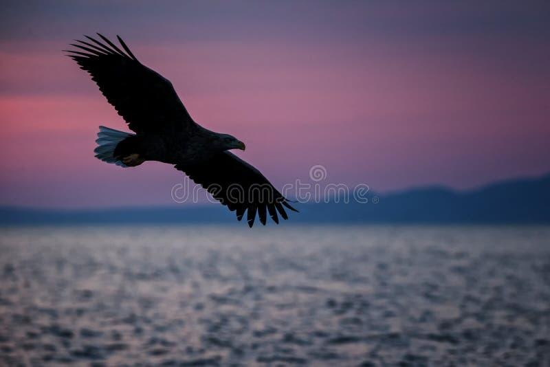 Vit-tailed ?rn i flykten, ?rnflyg mot rosa himmel i Hokkaido, Japan, kontur av ?rnen p? soluppg?ng, majest?tisk havs?rn royaltyfri foto