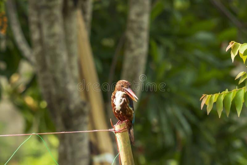 Vit-throated kungsfiskarekungsfiskaresmyrnensis fotografering för bildbyråer