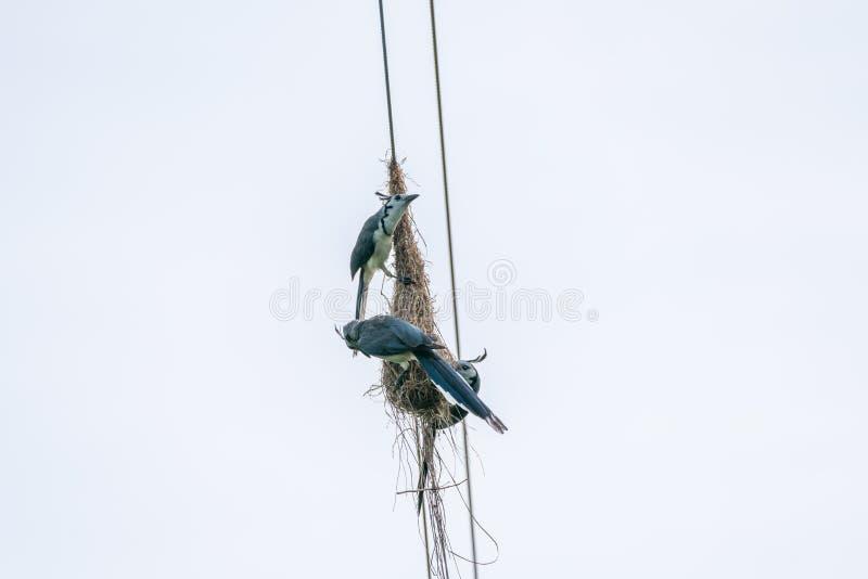 Vit-throated Skata-nötskrika & x28; Calocitta formosa& x29; i Costa Rica fotografering för bildbyråer
