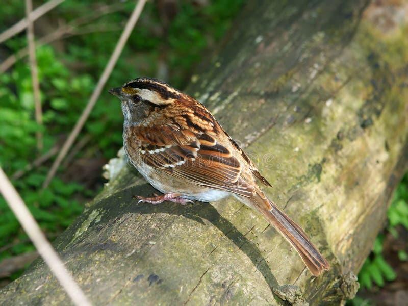 Vit-throated Sparrow (Zonotrichiaalbicollis) arkivbilder