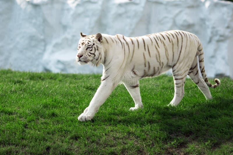 Vit tiger