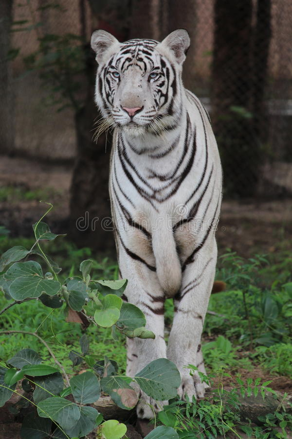 Vit tiger fotografering för bildbyråer