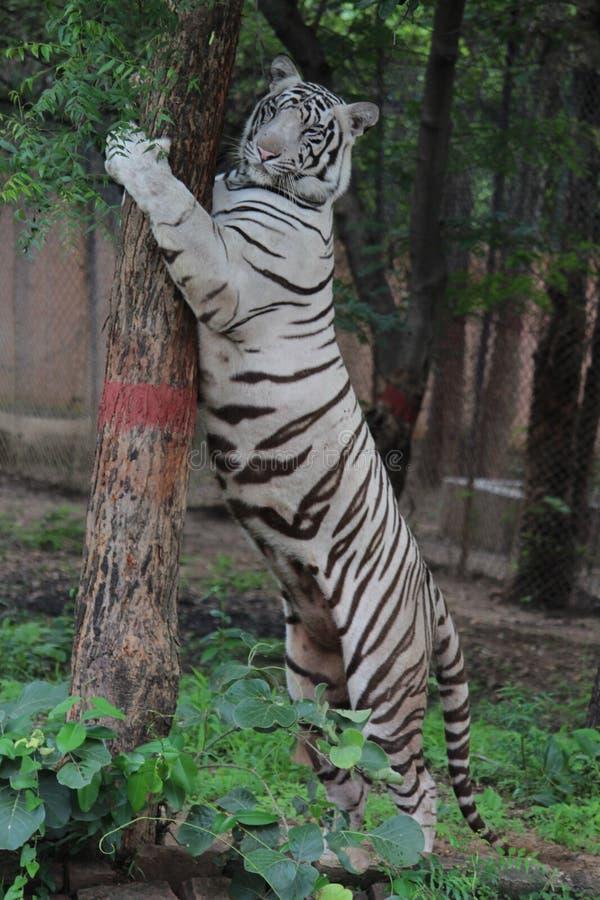 Vit tiger som kramar ett träd royaltyfri fotografi