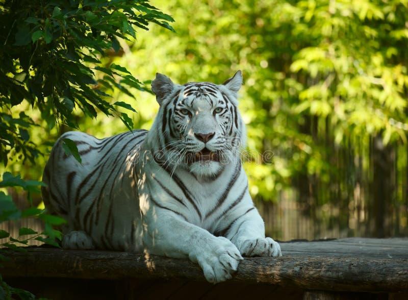 Vit tigress. royaltyfria foton
