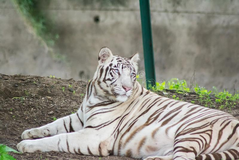 Vit tigrinna royaltyfri foto