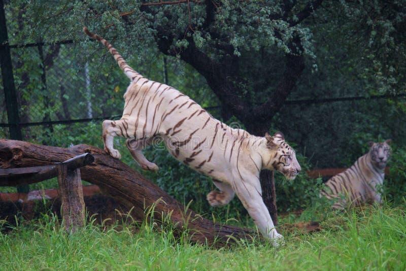 Vit tigrinna som går med stolt royaltyfri fotografi