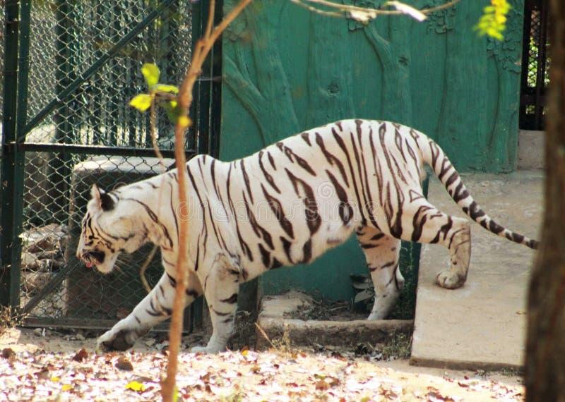 Vit tigrinna som går nära ett hus royaltyfria bilder