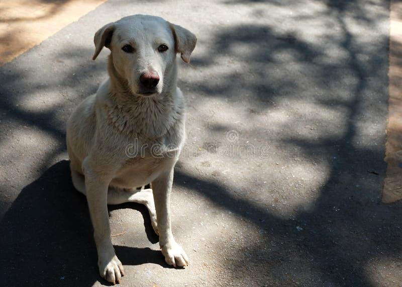 Vit tillfällig hund, hemlöst hundsammanträde som stirrar på maten arkivbild