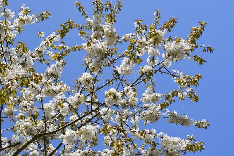 Vit trädblomning mot blå himmel royaltyfria foton