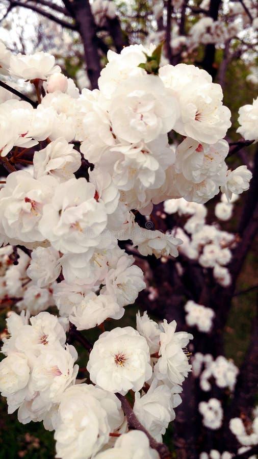 Vit trädfilial för körsbärsröd blomning fotografering för bildbyråer
