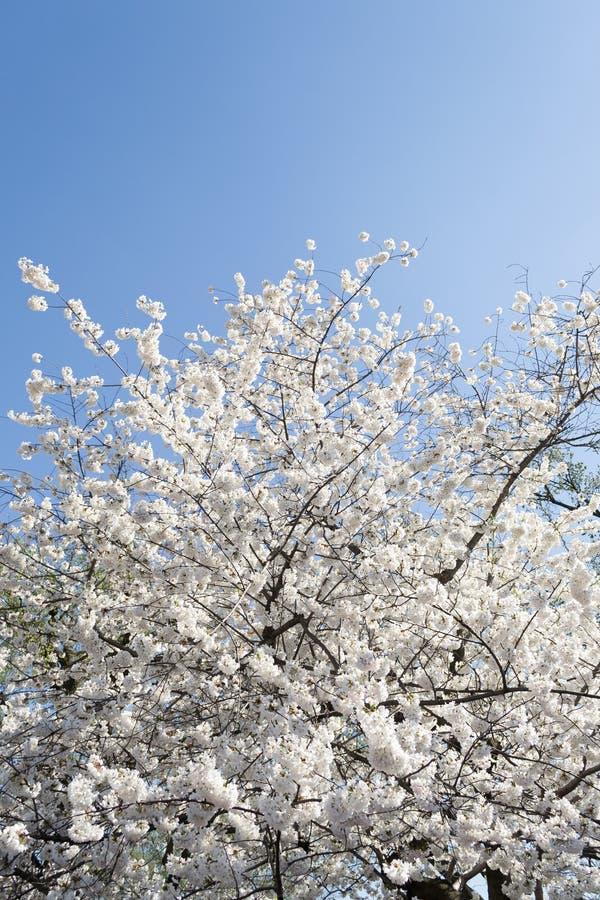 Vit tree fotografering för bildbyråer