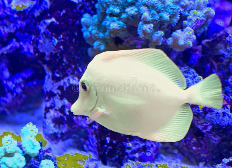 Vit tropisk fisk som simmar arkivfoton