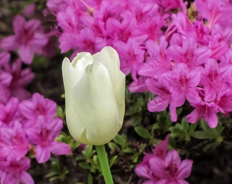Vit tulpan med purpurfärgade azaleor royaltyfria bilder